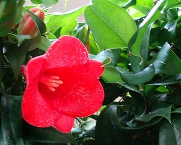 Sine_rare-plant