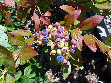 K-School-Blueberries