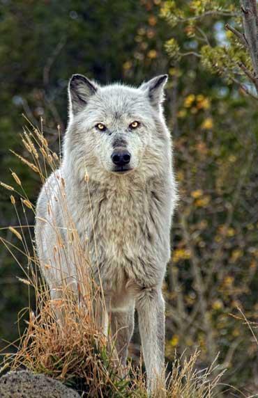 Gale-SteelmanTimber-Wolf